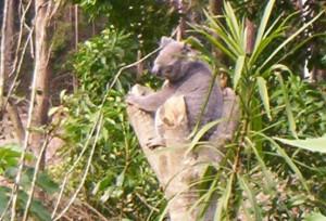 koala habitat assessment